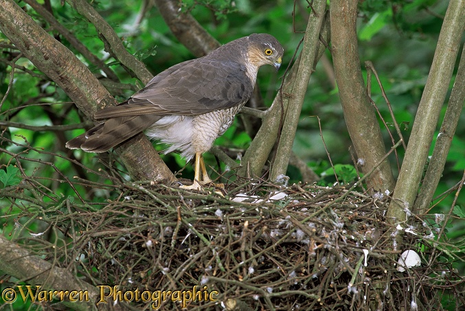 Sparrowhawk (Accipiter nisus) female at nest with newly hatched young.  Europe