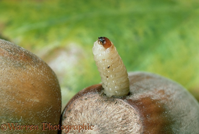 Nut Weevil (Curculio nucum) larva emerging from Hazel nut.  Europe