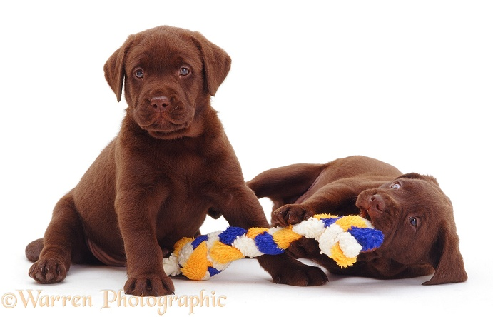Two Chocolate Labrador Retriever pups, 6 weeks old, white background