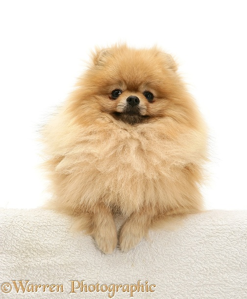 Pomeranian with paws over, white background
