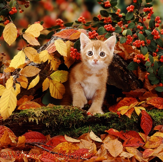 Ginger kitten among autumn beech leaves and cotoneaster berries. (The kitten is polydactyl - he has extra toes)