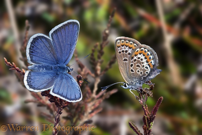 Silver-studded blue pair