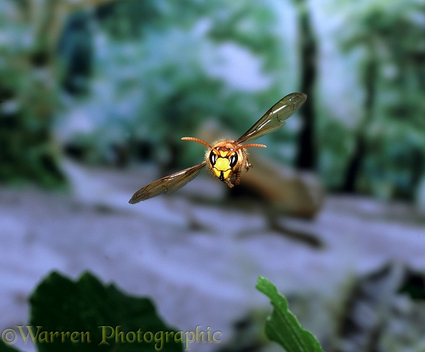 Hornet (Vespa crabro) worker in flight illustrating how head is held level while insect is banking.  Europe