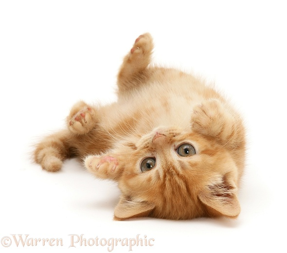 Ginger kitten rolling on its back, white background