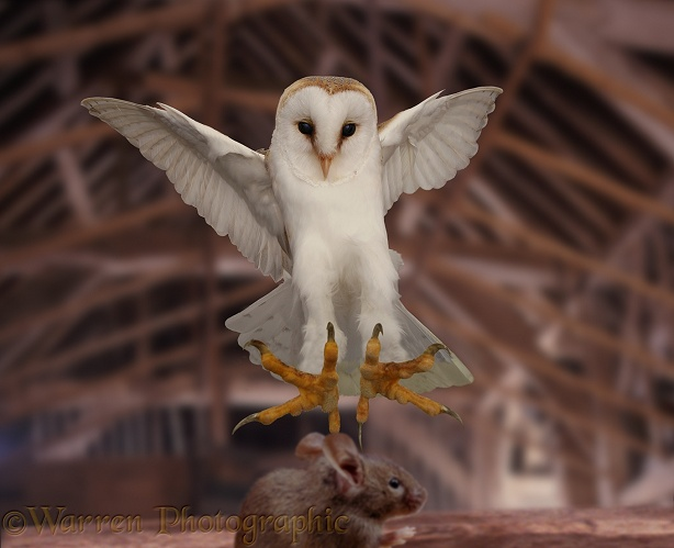 Barn Owl (Tyto alba) homing in on a House Mouse (Mus musculus).  Worldwide