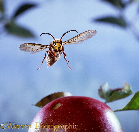 Hornet (Vespa crabro) male flying to over ripe apple.  Europe