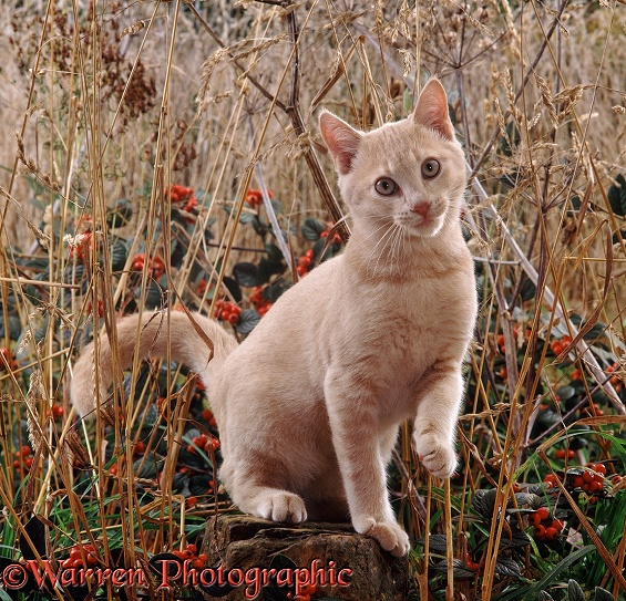 Cream cat among dead grass and berries