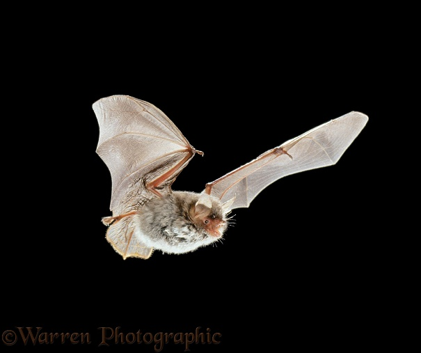 Natterer's Bat (Myotis nattereri) in flight.  Europe