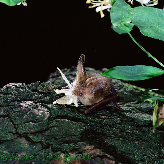 Long-eared Bat (Plecotus auritus) eating a moth.  Europe
