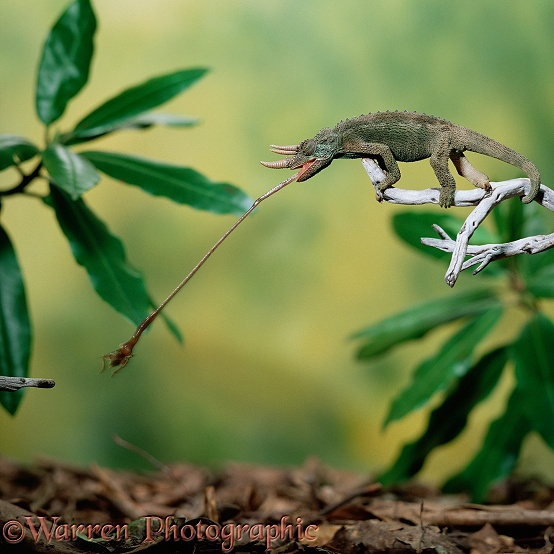 Jackson's Chameleon (Chamaeleo jacksonii) male taking a cricket.  Africa