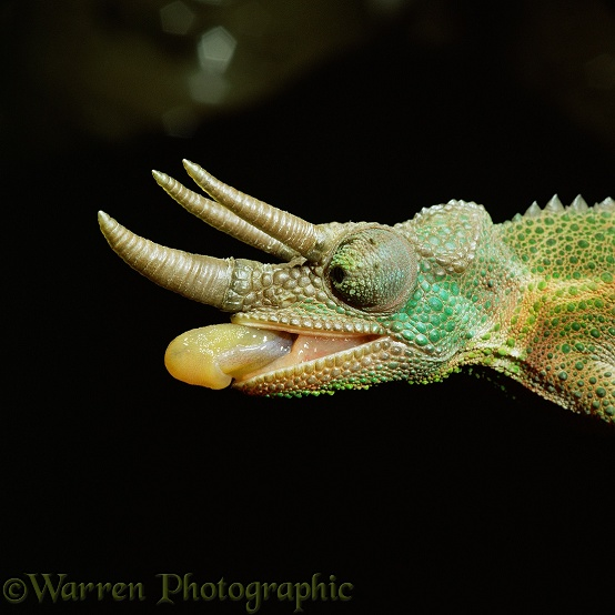 Jackson's Chameleon (Chamaeleo jacksonii) male about to take an insect.  Africa
