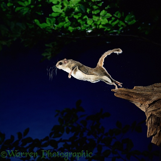 Southern Flying Squirrel (Glaucomys volans) leaping into mid air.  North America