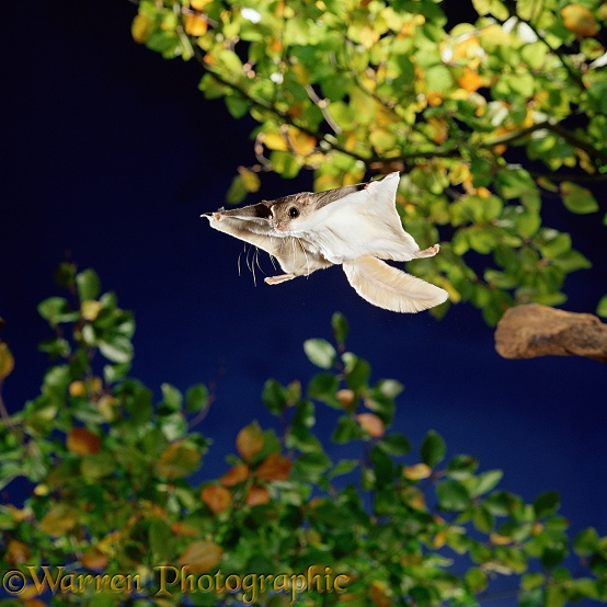 Southern Flying Squirrel (Glaucomys volans) in mid glide.  North America