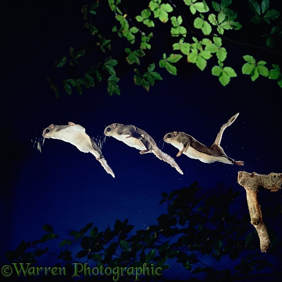 Southern Flying Squirrel (Glaucomys volans) leaping into mid air.  Three images at 20 millisecond intervals.  North America