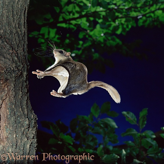 Southern Flying Squirrel (Glaucomys volans) gliding in to land on a vertical tree trunk.  North America