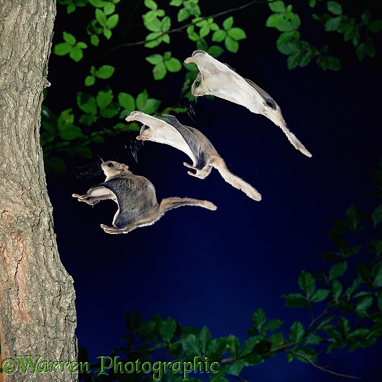 Southern Flying Squirrel (Glaucomys volans) gliding in to land on a vertical tree trunk.  Three images at 20 millisecond intervals.  North America