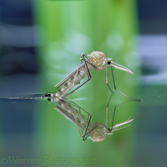 Mosquito (Culex pipiens) female resting on water surface, having just emerged from pupa