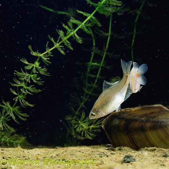 Japanese Bitterling (Rhodeus ocellatus) female inserting ovipositor into siphon of freshwater mussel, attended by male.  Japan