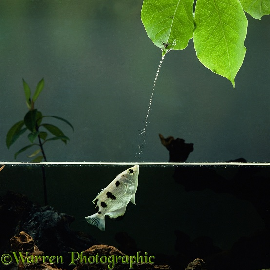 Archer Fish (Toxotes chatareus) jetting water at a spider.  South east Asia