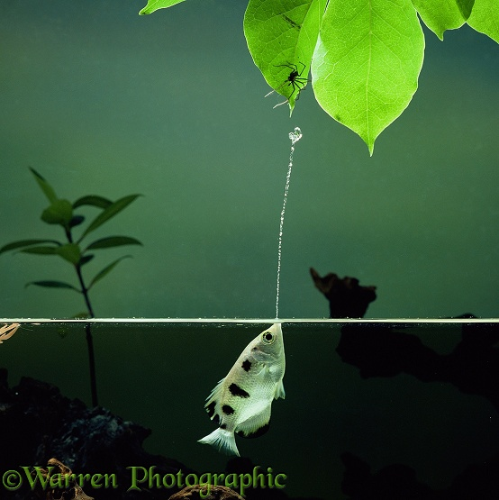 Archer Fish (Toxotes chatareus) jetting water at a spider.  SE Asia