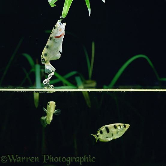 Archer Fish (Toxotes chatareus) leaping to take a fly.  SE Asia