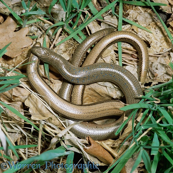 Slow-worm (Anguis fragilis) mating dance.  Europe