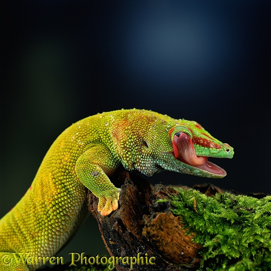 Madagascar Day Gecko (Phelsuma dubia) licking its eye clean.  Madagascar