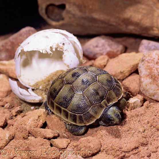 Spur-thighed Tortoise (Testudo graeca) hatchling emerging from egg.  Europe