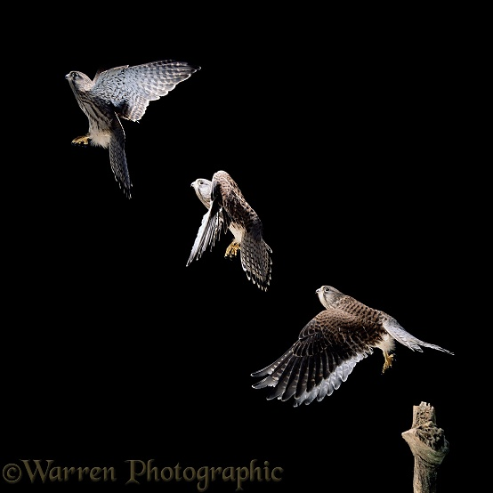 Kestrel (Falco tinnunculus) female taking off. Three images at 40 millisecond intervals.  Europe, Africa & Asia