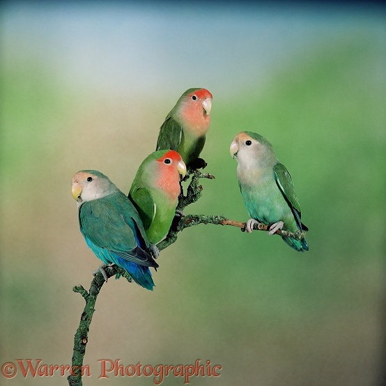 Rosy-faced Lovebird (Agapornis roseicollis) group showing colour varieties.  Africa