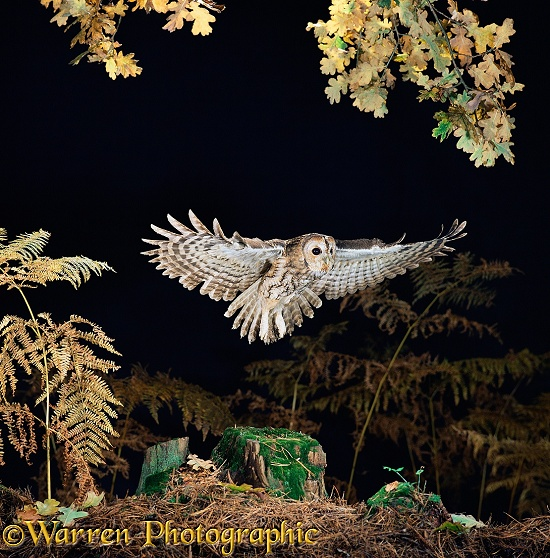 Tawny Owl (Strix aluco) in flight.  Europe & Asia