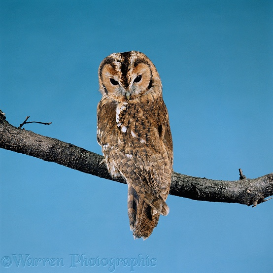 Tawny Owl (Strix aluco) at rest.  Europe & Asia