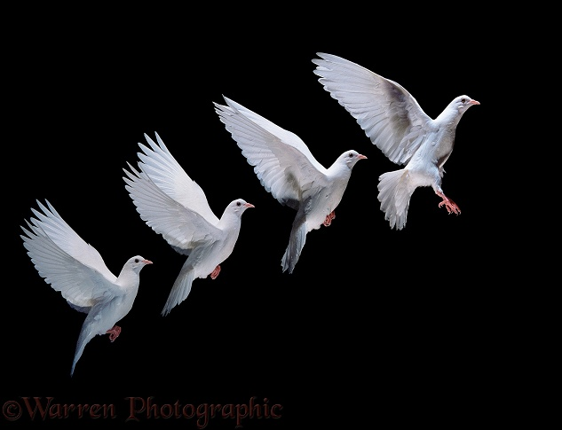 White dove (Columba livia) in flight.  Four images at 25 millisecond intervals