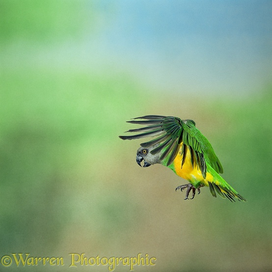 Senegal Parrot (Poicephalus senegalus) in flight.  Africa