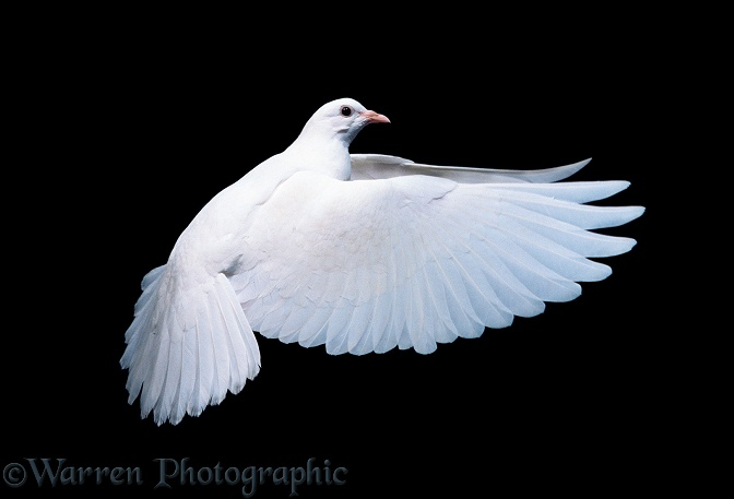 White dove (Columba livia) in flight