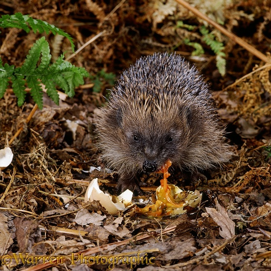 European Hedgehog (Erinaceus europaeus) eating a pheasant's egg.  Europe