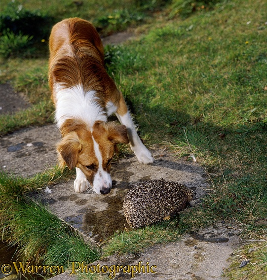 A young Hedgehog huffs and erects her spines when sniffed by a dog