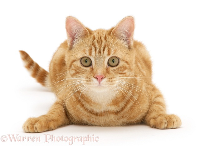 Young red tabby cat, Benedict, 7 months old, lying with head up, white background