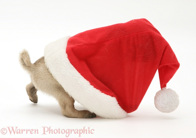 Pug pup in Santa hat, white background