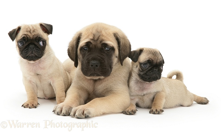 Fawn Pug pups with fawn English Mastiff pup, white background