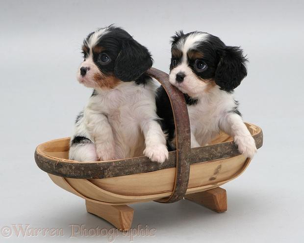 Tricolour Cavalier King Charles Spaniel pups in a small trug