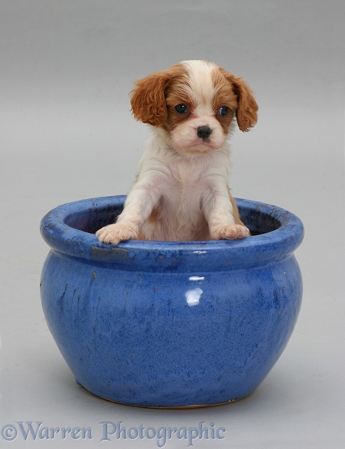 Blenheim Cavalier King Charles Spaniel pup in a blue plant pot