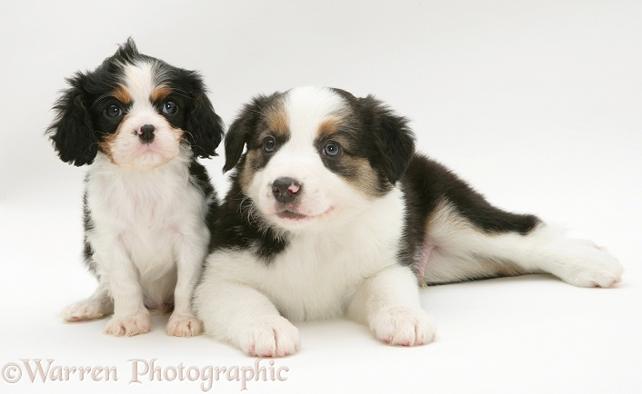 Tricolour Cavalier King Charles Spaniel pup and Border Collie pup, white background