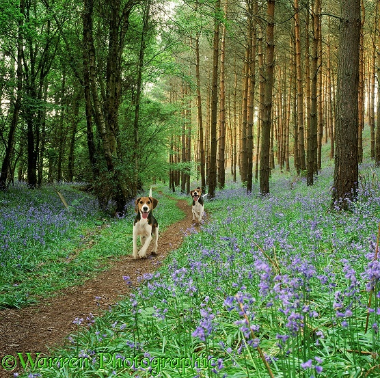 Beagles in Bluebell woods