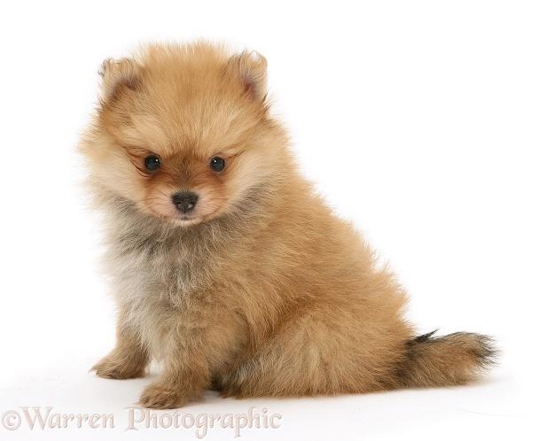 Dog: Pomeranian pup photo - WP11702
