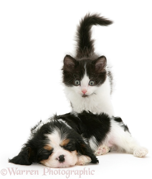 Black-and-white kitten and sleeping Cavalier King Charles Spaniel pup, white background