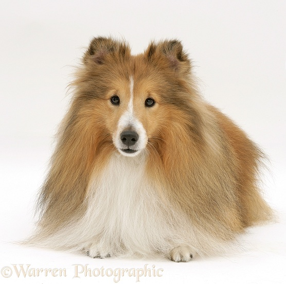 Pictures Of Dog Similar To Shelties Breeds Picture