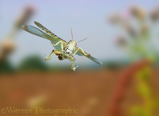 Desert Locust (Schistocerca gregaria) in flight.  Africa and southern Europe
