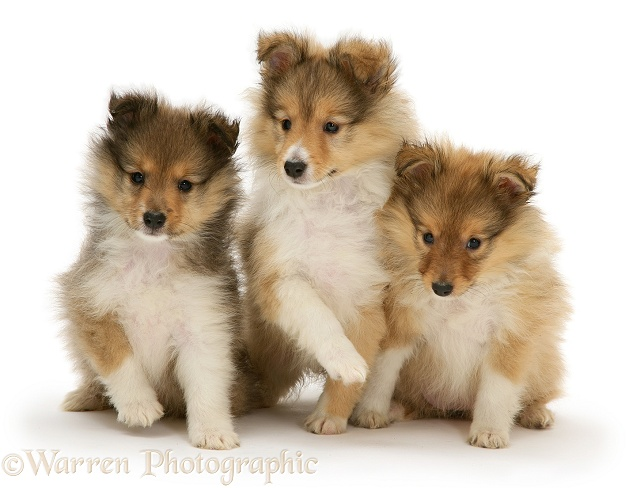 Sable Shetland Sheepdog (Sheltie) pups, white background