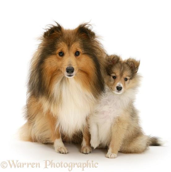 sable shetland sheepdog sheltie and pup photo   wp11755